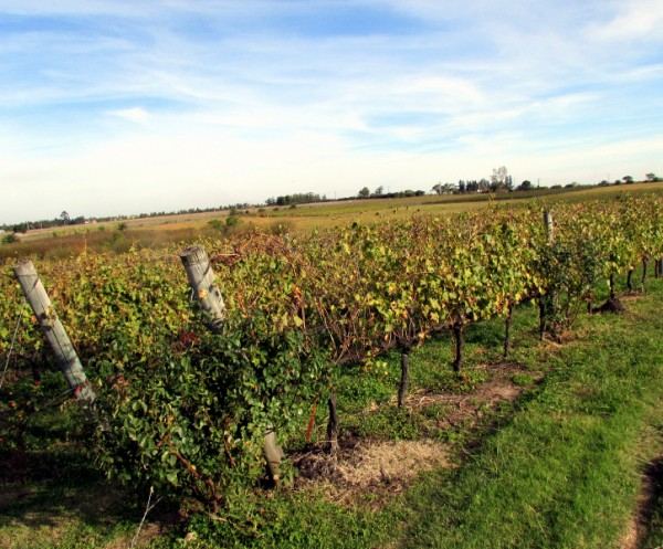 portion of the Pisano vineyards in Progreso area of Canelones